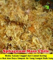 Sphagnum Moss Chile