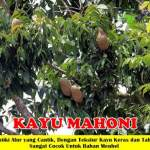 Bibit Kayu Mahoni 70cm