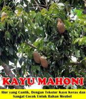 Pohon Kayu Mahoni