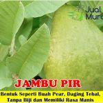 Bibit Jambu Biji Pir 70cm