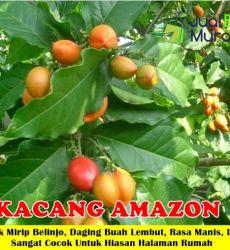 Kacang Amazon