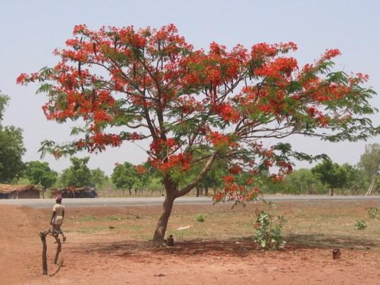 jual pohon flamboyan