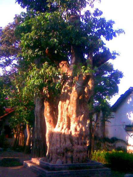 jual pohon pule di Soreang