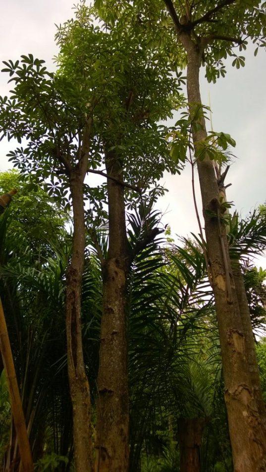 jual pohon pule Soreang