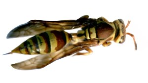 44301-composite-wasp
