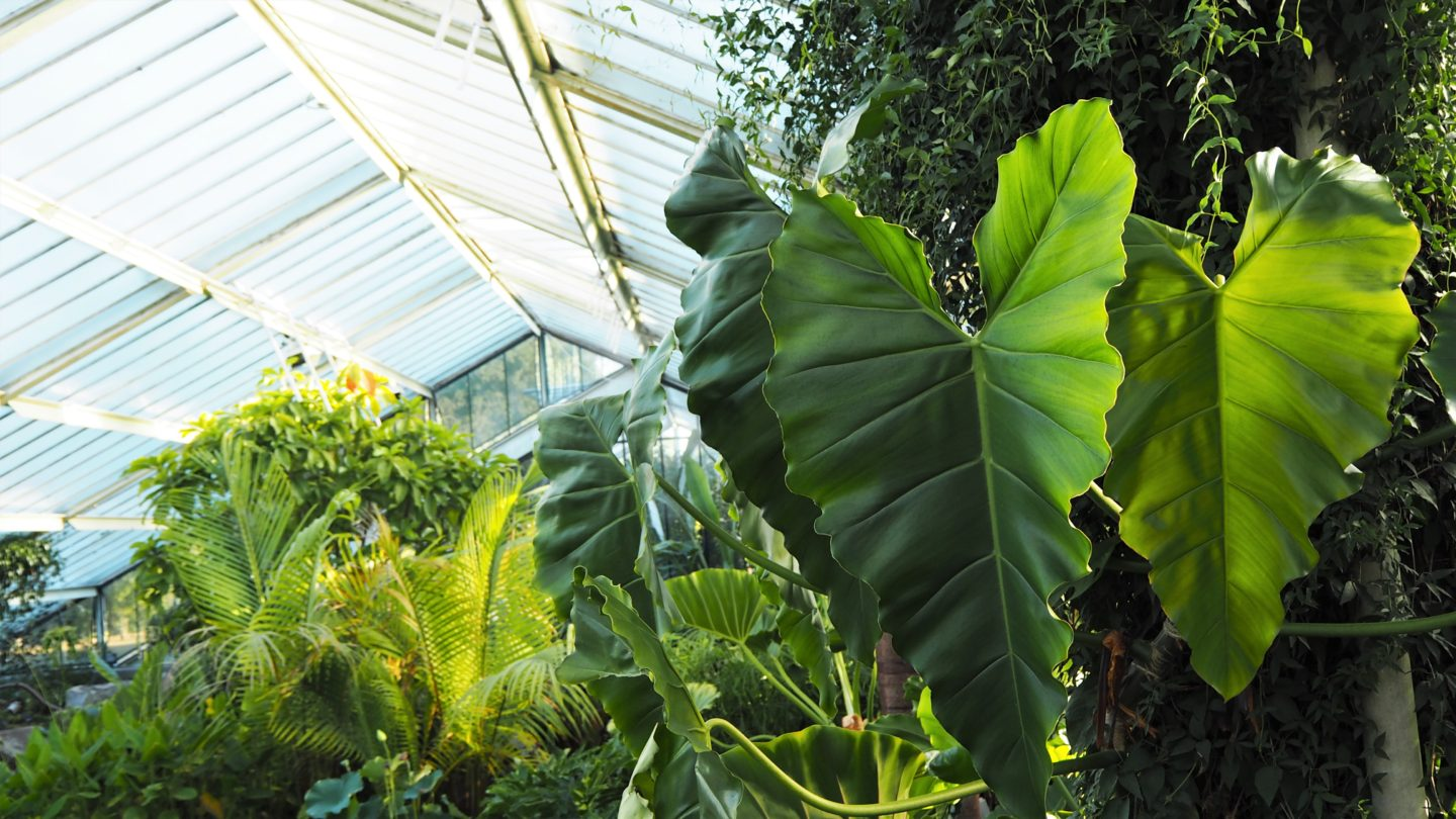 A heart shape giant leaf, in the princess of wales conservatory, kew gardens