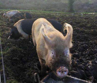 four-pigs