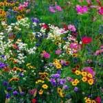 wildflowers 1