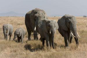 Serengeti-Elefantenherde