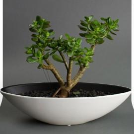DIY Bonsai Succulents DIY Kits by Juicykits