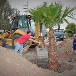 Plantación de palmeras en plaza de los carroceros