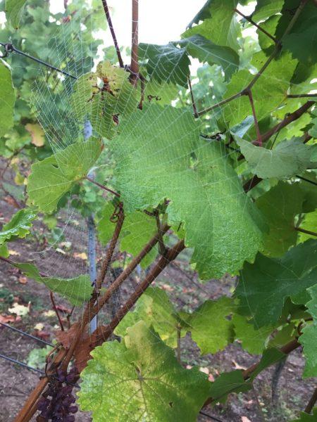 Hübsches Spinnennetz an einer der Weinreben auf dem Breyer Hämmchen.