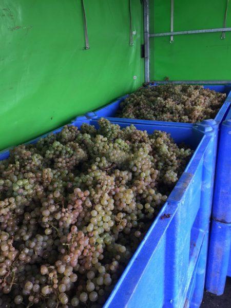 Oben angekommen wurden die Trauben aus den roten Kisten (Bütten) in diese großen blauen Wannen auf einem Anhänger entleert.