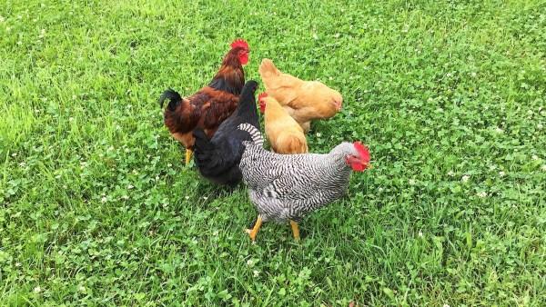 The Original Fab 5 Flock