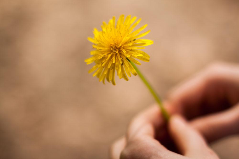 Hands holding a dandelion