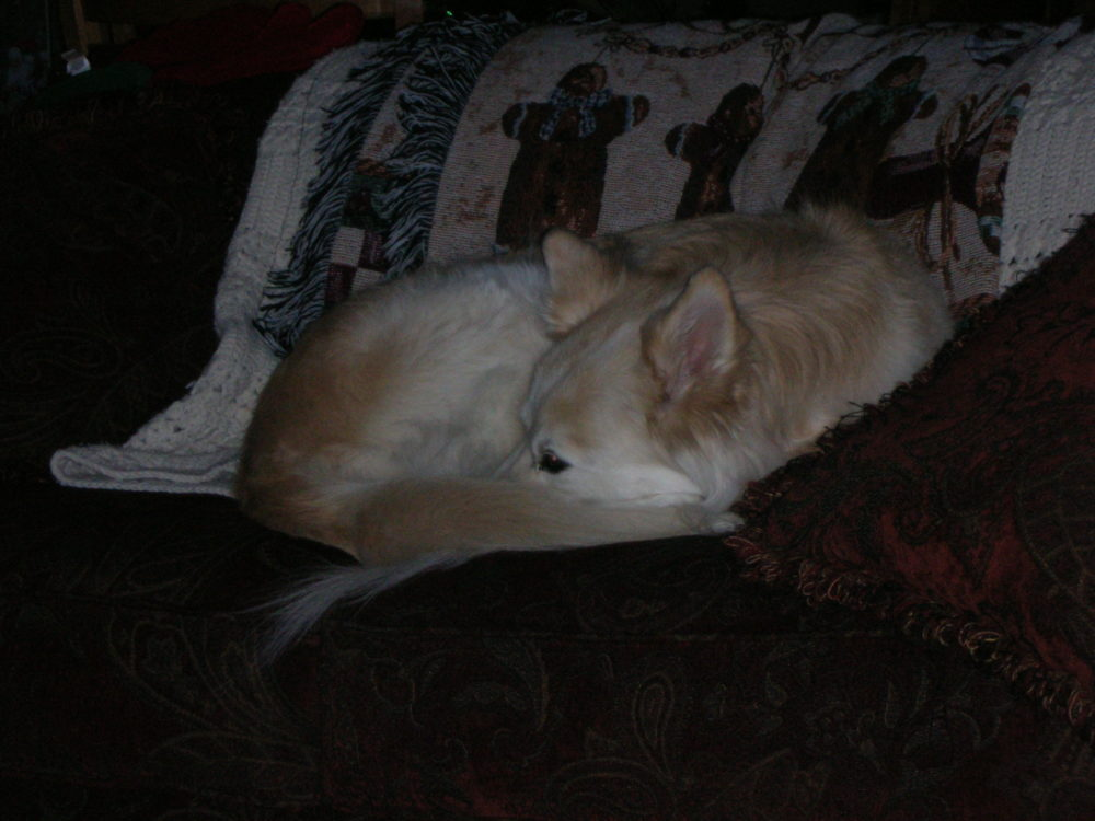 dog resting on the couch. How to help your dog with cancer at home. my story and tips for end of life care for dogs with cancer