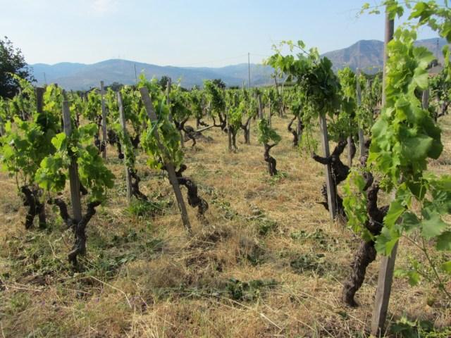 Vieilles vignes de Nerello Mascalese sur l'Etna