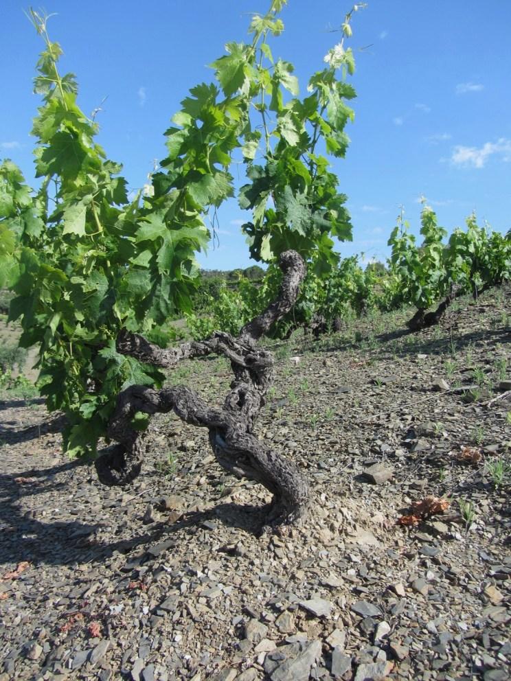 Vieille vigne de Carignan sur llicorella