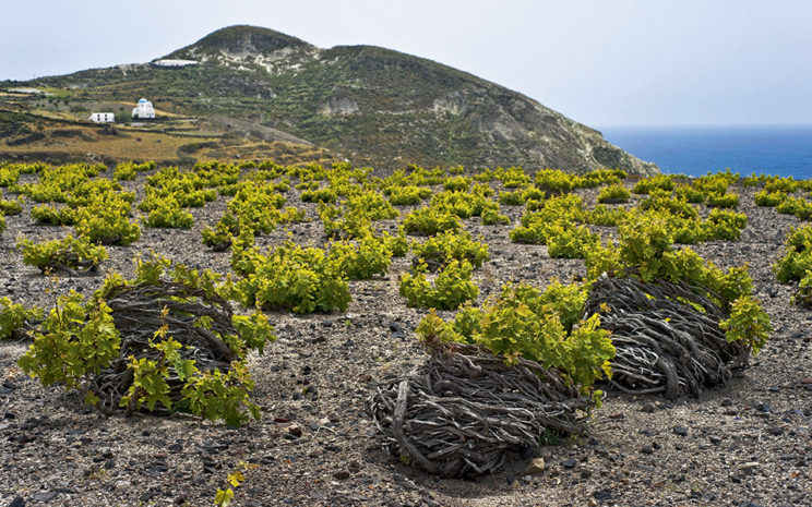 Vignes d'assyrtiko à Santorini (Photo: http://www.greece-is.com/)