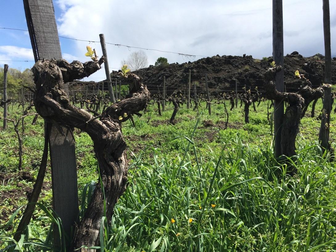 Vieilles vignes chez Fattorie Romeo del Castello