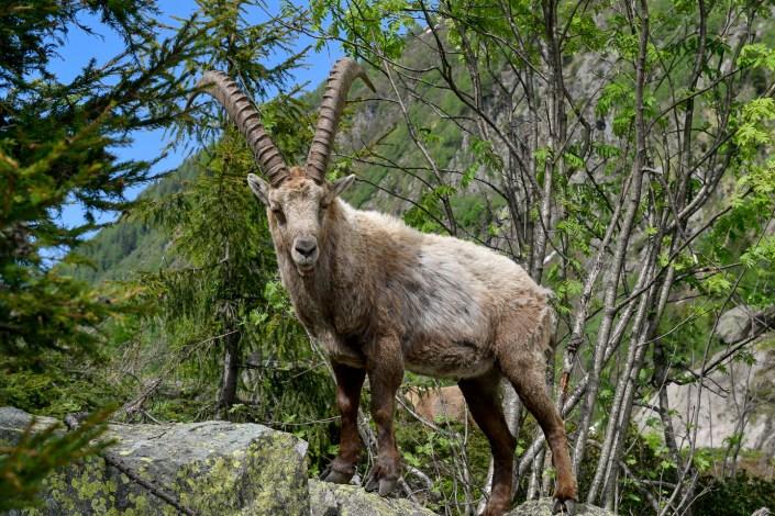 Photography of mountain ibex in Chamonix Mont Blanc