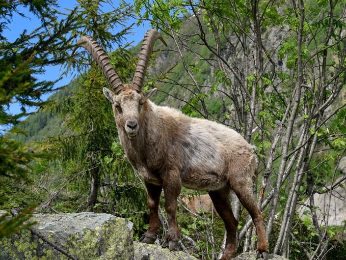 Chamonix Mont Blanc wildlife / La faune de Chamonix Mont Blanc