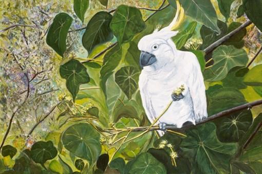 Chewing-the-macaranga sulphur crested cockatoo, Julie Schofield