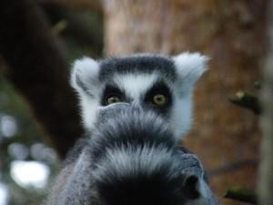 blog-lemur