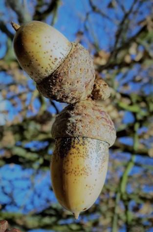 acorns-close-up-macro-60025.jpg