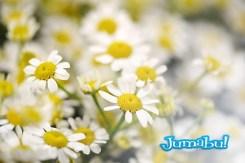 Fresh white spring daisies