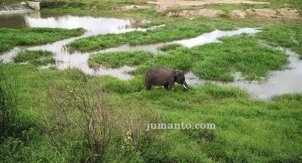 gajah way kambas makan di alam terbuka
