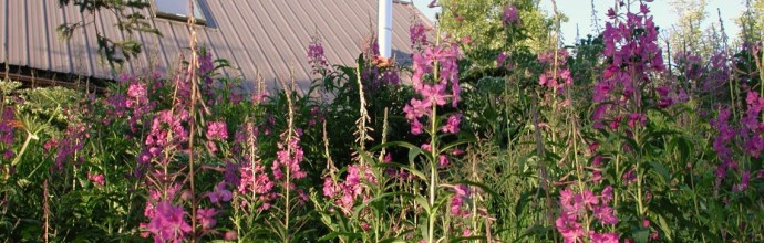Fireweed at Juneberry Lodge