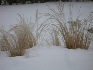Curves of ornamental grasses in winter
