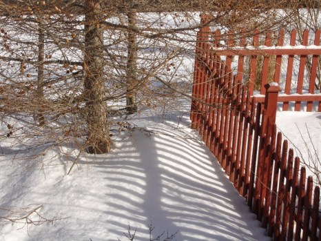 Shadows on snow by her beloved larch.