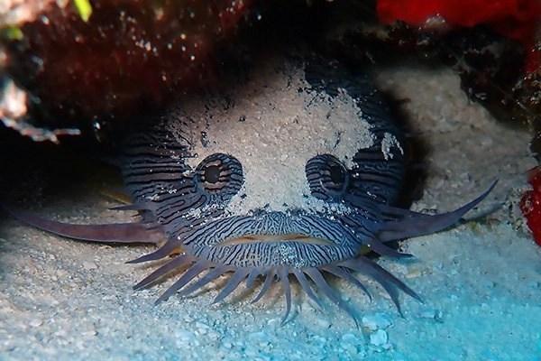 splendid toadfish cozumel