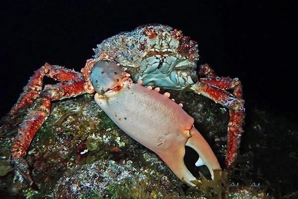 cozumel king crab
