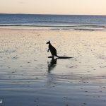 Känguru am Cape Hillsborough
