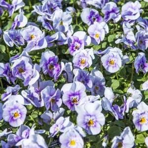 Viola (Spring)