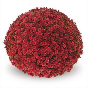 Chrysanthemum Garden Belgian Jasoda Red