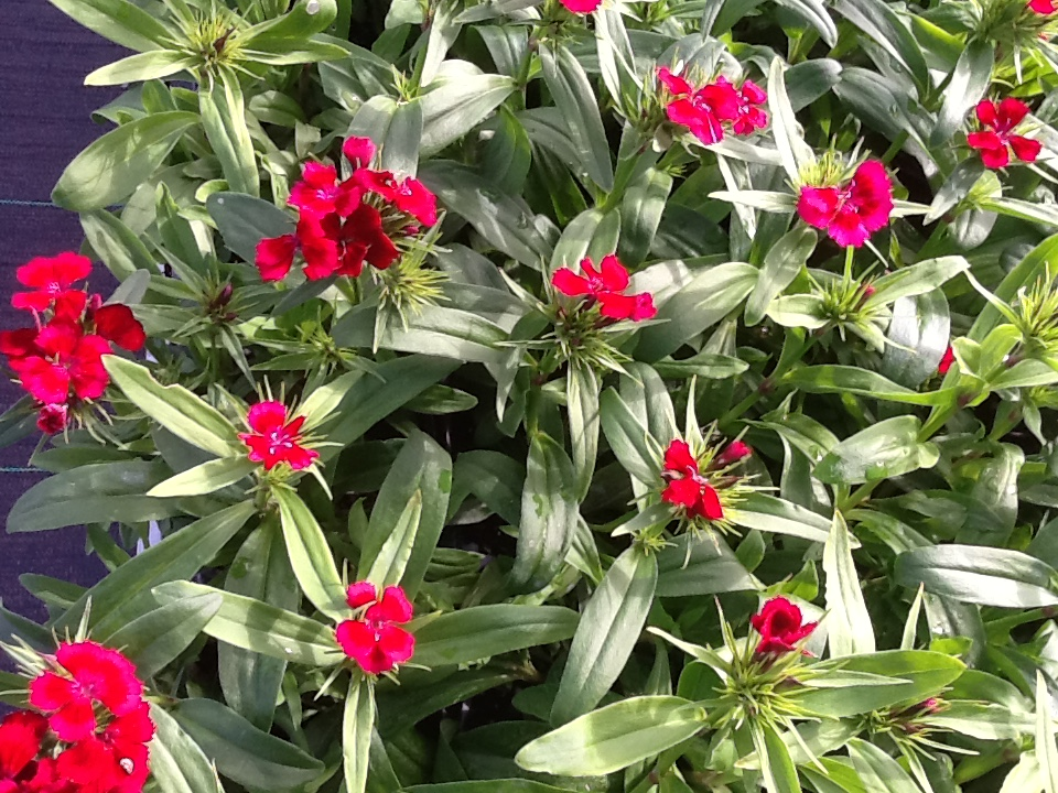Dianthus Fall Image