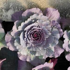 Flowering-Cabbage-Pigeon-Purple