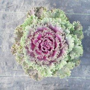 Flowering-Kale-Nagoya-Red