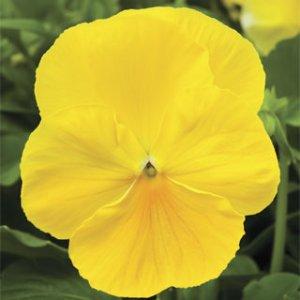 Pansy-Delta-Premium-Pure-Lemon