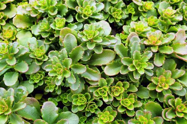 Sedum-floriferum-Green