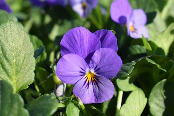 Viola-Endurio-Lavender