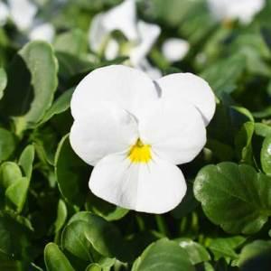 Viola-Endurio-White