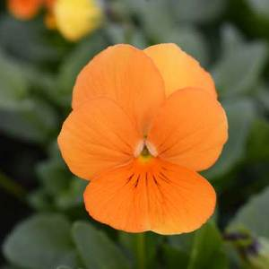 Viola-Penny-Orange