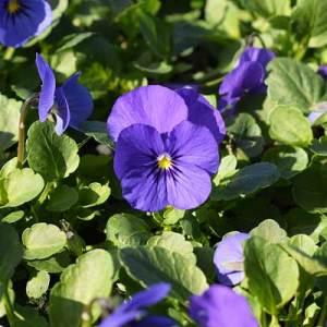 Viola-Sobert-XP-Yellow-Blue-Jump-Up