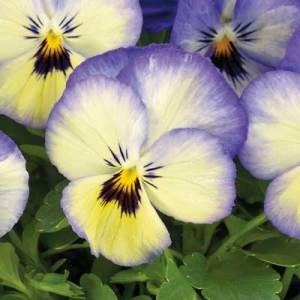 Viola_ColorMax_Icy-Blue