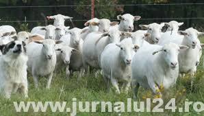 Ialomița: Ajutor Național Tranzitoriu pentru crescătorii de ovine și caprine